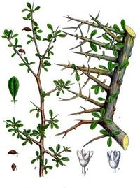 Aus: Köhler's Medizinal-Pflanzen in naturgetreuen Abbildungen mit kurz erläuterndem Texte, hg. v. G. Pabst, Bd. 1, Gera-Untermhaus 1887