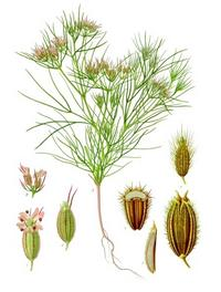 Aus: Köhler's Medizinal-Pflanzen in naturgetreuen Abbildungen mit kurz erläuterndem Texte, bearb. v. M. Vogtherr, Bd. 3 (Ergänzungsband), Gera-Untermhaus 1898, Pl. 23