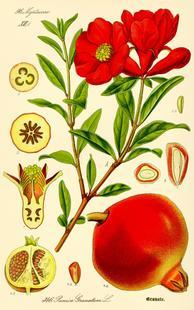 Aus: W. Thomé, Flora von Deutschland, Österreich und der Schweiz, Gera 1885