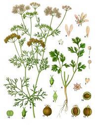 Aus: F.E. Köhler, Köhler's Medizinal-Pflanzen in naturgetreuen Abbildungen mit kurz erläuterndem Texte, Bd. 2, Gera-Untermhaus 1887, 145.